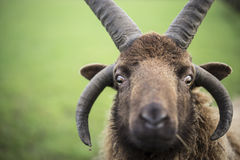 Shetland cakle Zdjęcie Royalty Free