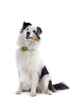 Shetland Collie or sheepdog Stock Photos