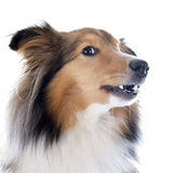 Shetland dog Royalty Free Stock Images
