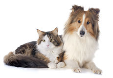 Shetland dog ans maine coon cat. Portrait of a purebred shetland dog and maine coon cat in front of white background Stock Image