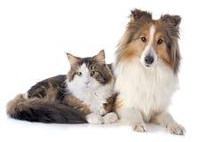 Shetland dog ans maine coon cat Stock Image