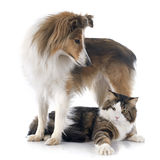 Shetland dog ans maine coon cat Stock Photo