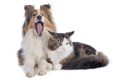 Shetland dog ans maine coon cat Stock Images