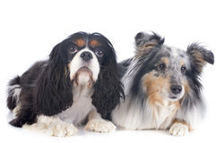 Shetland dog and cavalier king charles Stock Photo
