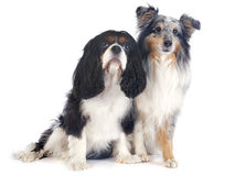 Shetland dog and cavalier king charles Royalty Free Stock Photos