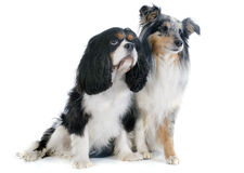 Shetland dog and cavalier king charles Royalty Free Stock Images