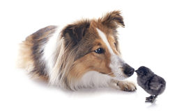 Shetland dog and chick Royalty Free Stock Photography