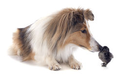 Shetland dog and chick Royalty Free Stock Photos
