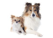 Shetland dog and chihuahua Stock Image