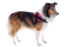 Shetland dog and harness royalty free stock photos