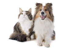 Shetland dog and maine coon cat Stock Images