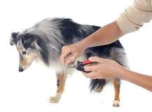 Shetland dog Royalty Free Stock Photo