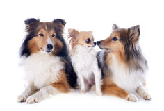 Shetland dogs and chihuahua Royalty Free Stock Image