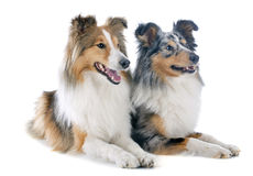 Shetland dogs Stock Photos