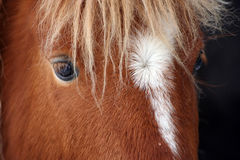 Shetland Dreams. Close up of Shetland Pony Eyes stock photo