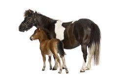 Shetland en foal- 12 oude jaar oud-1 maand Stock Foto's