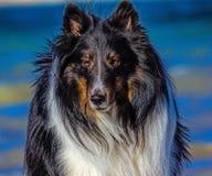 Shetland fårhund Arkivfoto