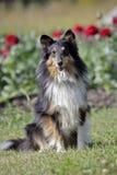 Shetland fårhund i blommaträdgård fotografering för bildbyråer