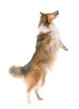 Shetland fårhund i studio Royaltyfri Fotografi