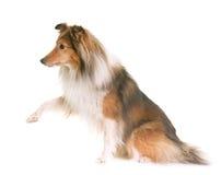 Shetland fårhund i studio Royaltyfria Foton