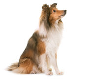 Shetland fårhund i studio Arkivfoto