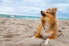 Shetland fårhund på stranden fotografering för bildbyråer