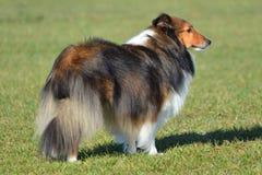 Shetland fårhund (Sheltie) arkivbild