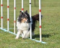 Shetland fårhund (Sheltie) på hundvighetförsöket royaltyfri bild