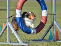 Shetland fårhund (Sheltie) på hundvighetförsöket royaltyfria foton