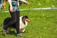 Shetland fårhund, Sheltie, ung hund för collie som går på grasna royaltyfri bild