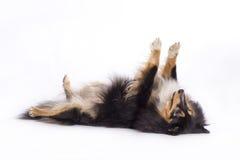 Shetland fårhund som isoleras fotografering för bildbyråer