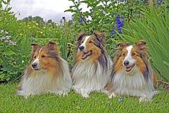 Shetland fårhund tre i trädgård arkivfoto