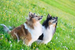 Shetland fårhundar i en äng royaltyfri foto