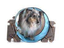 Shetland f?rhund i studio royaltyfri fotografi