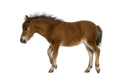 Shetland foal - 1 month old royalty free stock photos