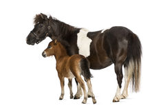 Shetland and foal- 12 years old-1 month old stock photos