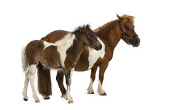 Shetland and foal - 9 years old-1 month old Stock Image