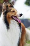 Shetland herdershond royalty-vrije stock afbeeldingen