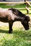 Shetland Horse Stock Images