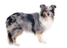 Shetland hund royaltyfri bild