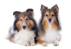Shetland hundkapplöpning royaltyfria bilder