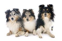 Shetland hundkapplöpning Arkivfoton