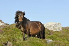 Shetland konik zdjęcie royalty free