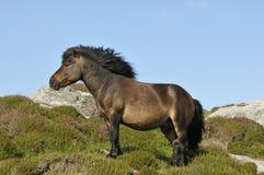 Shetland konik Obraz Royalty Free