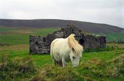 Shetland konik zdjęcia royalty free