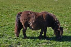Shetland konik w polu w lecie obrazy royalty free