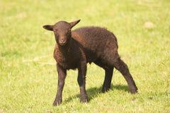 Shetland lamb - dark brown Stock Photo