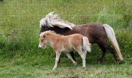 Shetland Mare Colt. Lovely Shetland pony and her colt Royalty Free Stock Image