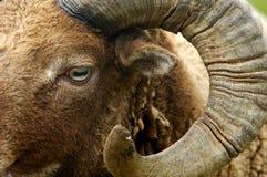 Shetland owiec Obrazy Stock