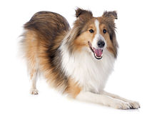 Shetland pies Obrazy Royalty Free